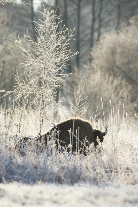 Bison d'europe, Bialowieza Forest, Pologne - © Pierre Massy