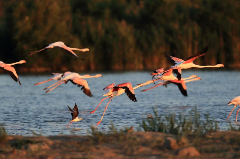 Flamants roses  - © Roger Villet