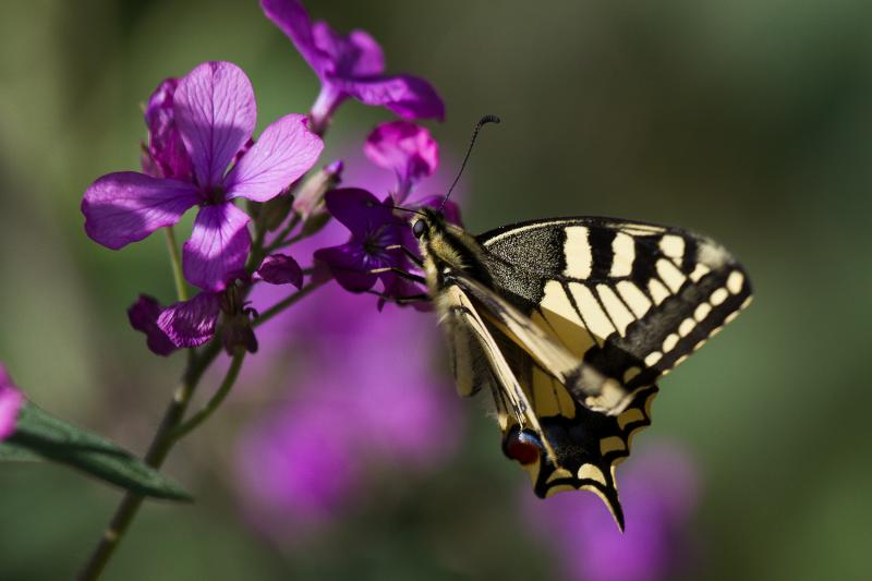 Machaon (Papilio machaon); Drôme provençale - © Evelyne Pellaton