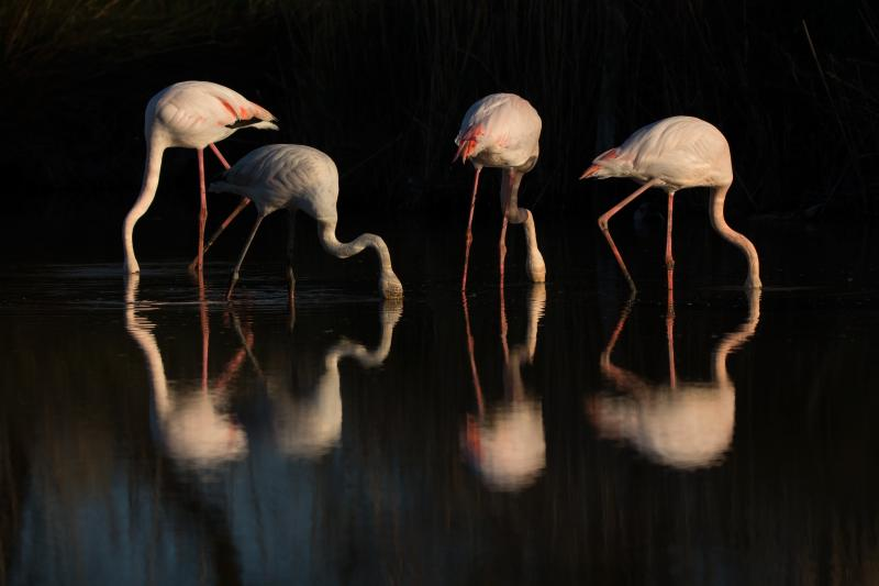 Flamants roses - © François Rauss