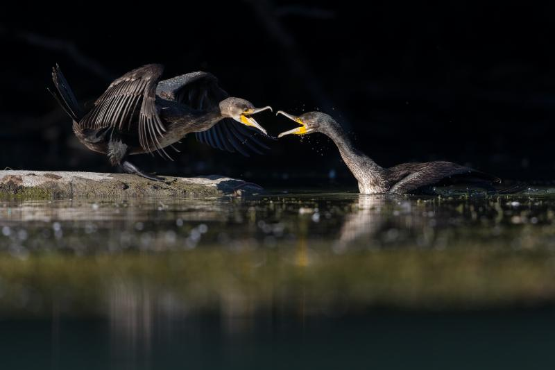 Grand cormoran - © François Rauss