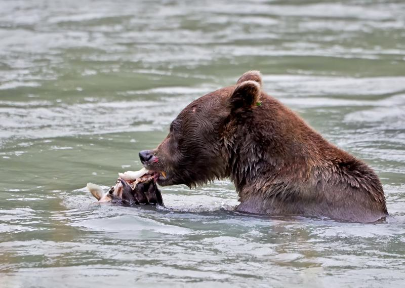 Coastal brown bear, Ours brun côtier, Chilkoot river, Haines , Alaska - © Patrick Arrigo