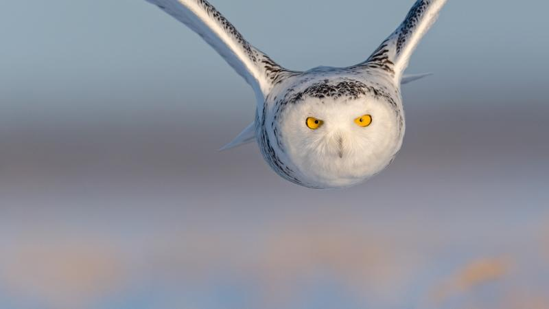 Snowy in flight - © Hansruedi Weyrich
