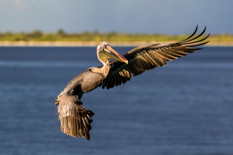 Brown pelican - © Thomas Nierle