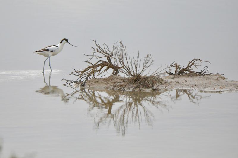 Avocette - © Jean-Bernard Marrel