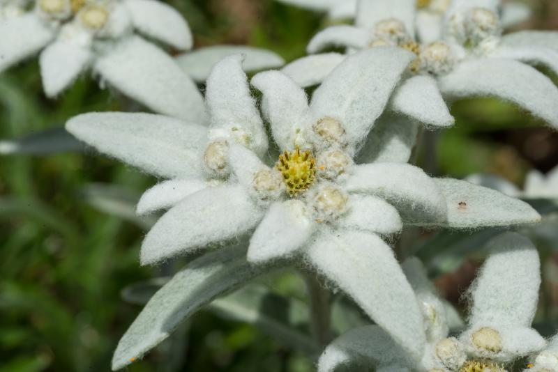 Edelweiss - © Evelyne Ruoss
