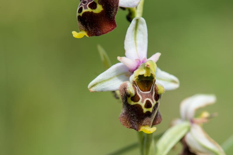 Ophrys bourdon - © Evelyne Ruoss