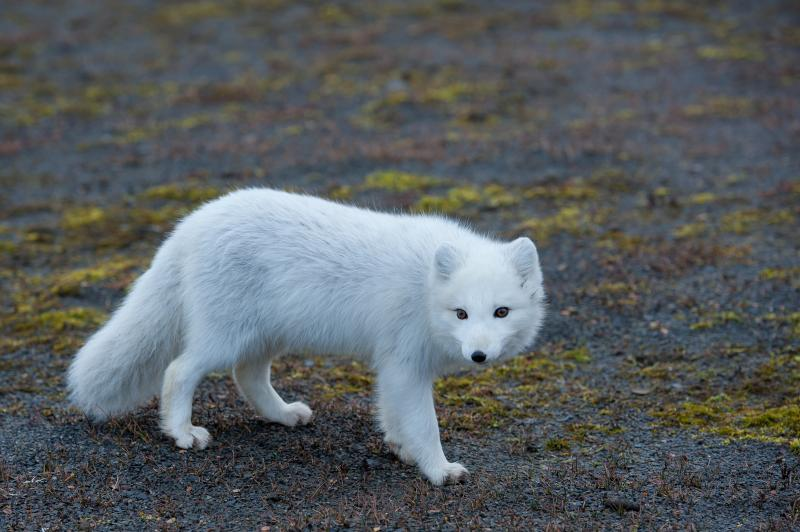 Polarfuchs - © Evelyne Ruoss