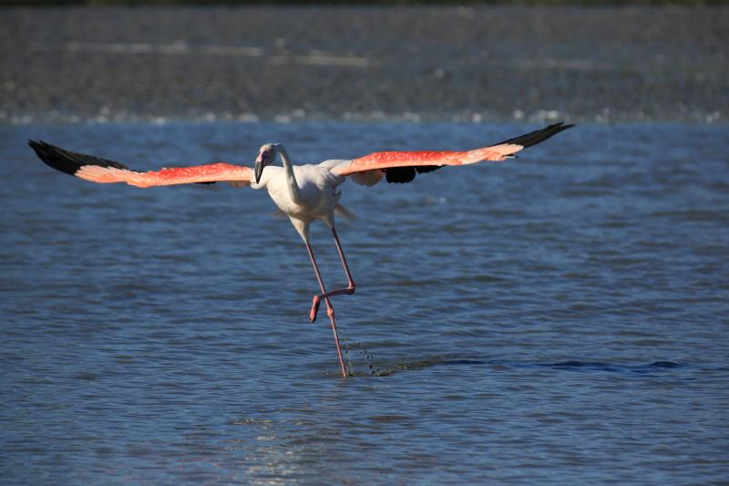 Flamant rose - Camargue - France - © Alain Vaney