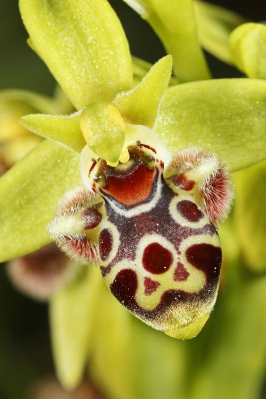 Ophrys attique (Ophrys umbilicata) - © Heinrich Wettstein